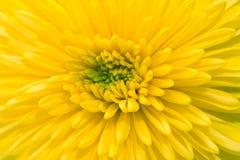 Желтая хризантема на белой предпосылке Стоковые Изображения RF