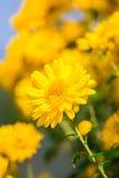 Желтая хризантема Стоковые Изображения RF