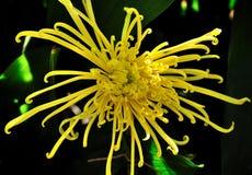 Желтая хризантема Стоковое Изображение RF