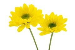 Желтая хризантема Стоковые Фото