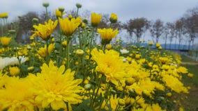 Желтая хризантема Стоковое Изображение