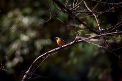 Желтая черная птица на ветви Стоковая Фотография