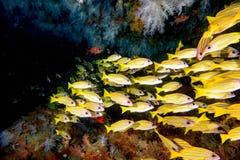 Желтая школа sweetlips морского окуня рыб подводных Стоковое фото RF