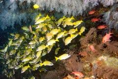 Желтая школа sweetlips морского окуня рыб подводных Стоковые Изображения