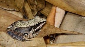 Желтая лягушка, красивая лягушка, лягушка на сухих лист Стоковое фото RF