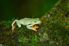 Желтая лягушка на мхе Стоковые Изображения RF