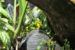 Желтая лягушка дротика отравы Стоковое фото RF