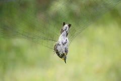 Желтая-rumped певчая птица в сети Стоковые Фото