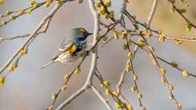 Желтая-Rumped певчая птица (Миртл) Стоковая Фотография