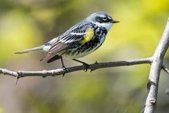 Желтая-rumped певчая птица садить на насест в дереве Стоковые Фотографии RF