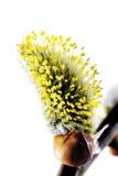 Желтоватый, catkins вербы, конец-вверх Стоковые Изображения