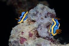 2 желтого, голубых, белых, фиолетовых и черных nudibranch подводно Стоковая Фотография RF