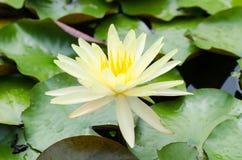 Желтого цвета цветок waterlily Стоковые Изображения RF