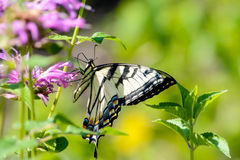 Желтое восточное swallowtail тигра butterfy на цветке бальзама пчелы Стоковые Фотографии RF