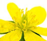желтое влажное цветение аконита зимы Стоковое Изображение