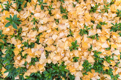 Желтое гинкго выходит падать на зеленые листья в осень Стоковая Фотография