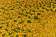 Желтое гинкго Стоковая Фотография