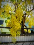 желтое дерево ливня в Таиланде Стоковое Фото