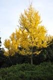 Желтое дерево осени в парке Стоковая Фотография