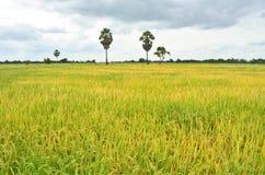 Желтое дерево поля и сахара риса Стоковое Изображение