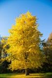 Желтое дерево Стоковое Фото