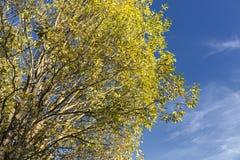 Желтое дерево Стоковая Фотография RF