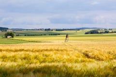 Желтое зерно готовое для сбора растя в поле фермы, Стоковая Фотография RF