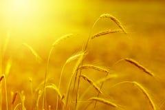 Желтое зерно стоковое изображение rf