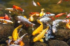 Желтое золото красное и белое Koi также известное как nishikigoi одомашнивали общего карпа для прудов сада для декоративных целей Стоковые Изображения