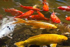 Желтое золото красное и белое Koi также известное как nishikigoi одомашнивали общего карпа для прудов сада для декоративных целей Стоковое Изображение