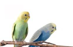 Желтое и голубое undulatus Melopsittacus волнистого попугайчика Стоковая Фотография
