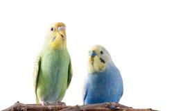 Желтое и голубое undulatus Melopsittacus волнистого попугайчика Стоковая Фотография RF