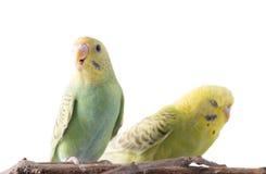 Желтое и голубое undulatus Melopsittacus волнистого попугайчика Стоковые Изображения RF