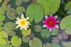 2 желтое и розовая пусковая площадка лилии nymphaea Стоковое Фото