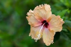 Желтое и розовое Chaba Стоковое Изображение