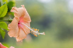 Желтое и розовое Chaba Стоковые Фотографии RF