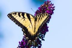 Желтое и черное swallowtail подает на фиолетовом цветке Стоковое Изображение