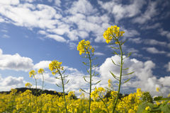 Желтое канола или мустард на поле Стоковые Изображения