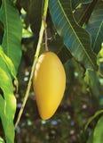 Желтое манго Стоковые Фото
