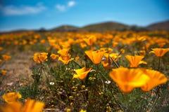 Желтое поле мака Стоковая Фотография RF