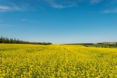 Желтое поле рапса в цветени Стоковое Изображение