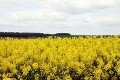 Желтое поле рапса на равнине Солсбери стоковая фотография rf