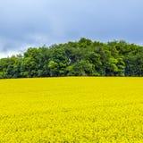 Желтое поле рапса семени масличной культуры под голубым небом с солнцем Стоковое Фото