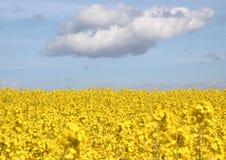 Желтое поле рапса с голубым небом и облаками Стоковая Фотография