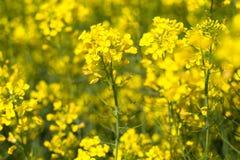 Желтое поле рапса с голубым небом Стоковая Фотография