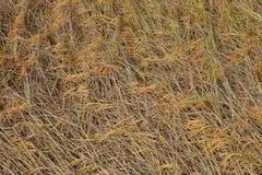 Желтое поле риса Стоковое Фото