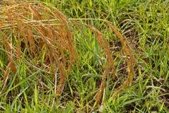 Желтое поле риса Стоковые Изображения