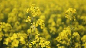 Желтое поле семени масличной культуры видеоматериал