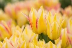 Желтое поле тюльпана в Мичигане Стоковое фото RF
