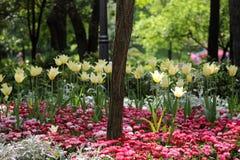 Желтое поле тюльпана Стоковое Изображение